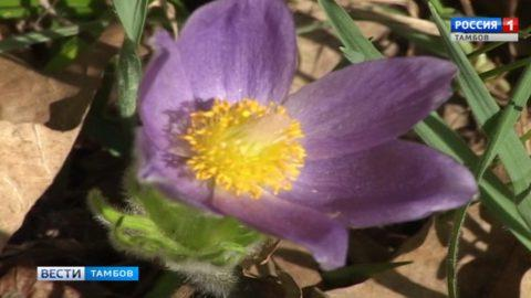 Первоцветы в Воронинском заповеднике