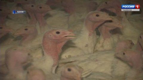 «Тамбовская индейка» подстегнула производство мяса птицы в России