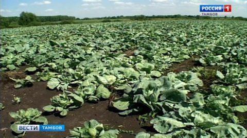 Никаких искусственных добавок: в колонии-поселении №2 приступили к сбору и заготовке урожая овощей