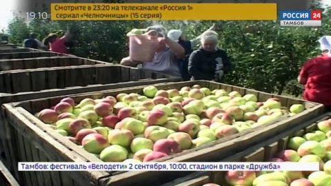 В садах региона поспели яблоки
