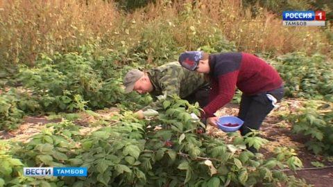 Начинающий фермер из Кирсановского района собирает небывалый урожай сладкой ягоды