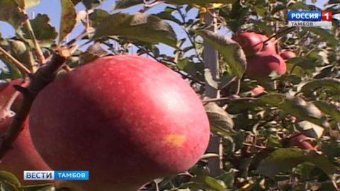 Мичуринцы научат фермеров правильно закладывать яблочные сады и ухаживать за ними