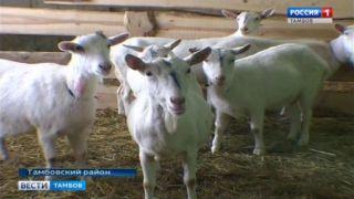 Жених из Франции так и не приехал, поэтому ферма из Притамбовья выпишет голландского козла