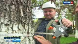 Два тамбовских дерева могут войти в национальный реестр старовозрастных