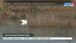 На речке в селе Борщёвка поселились лебеди