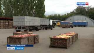 В регионе начали сбор урожая яблок