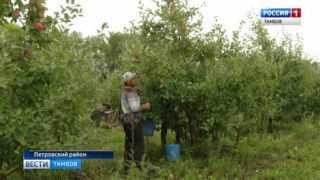 Собраны первые 400 тонн яблок в одном из крупнейших садоводческих хозяйств региона
